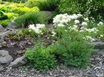 Photo Thalictrum petaloideum, white