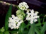 Photo Swamp milkweed, Maypops, Rose Milkweed, Red Milkweed, white