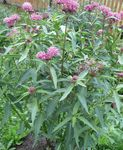 Photo Swamp milkweed, Maypops, Rose Milkweed, Red Milkweed, pink
