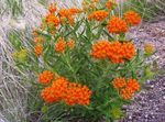 Photo Butterflyweed, orange