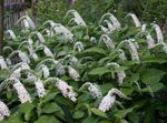 Photo Gooseneck Loosestrife, white