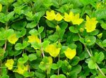 Photo Moneywort, Creeping Jenny, buí