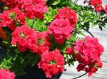 Photo Verbena, red