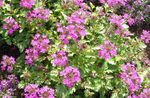 Rose Verbena, Clump Verbena, Homestead Verbena