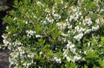 Photo Gaultheria, Checkerberry, white