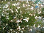Photo Gaura, white