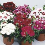 Photo Dianthus, China Pinks, red