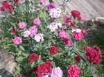 Photo Sweet William, pink