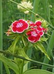 Photo Sweet William, red
