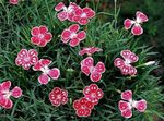 Photo Dianthus perrenial, red