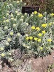 Photo Helichrysum perrenial, yellow
