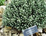 Photo Helichrysum perrenial, white