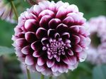 Photo Dahlia, vineux