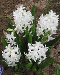 Photo Dutch Hyacinth, white
