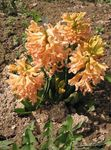 Photo Dutch Hyacinth, orange