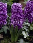 Photo Dutch Hyacinth, purple