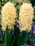 Photo Dutch Hyacinth, yellow