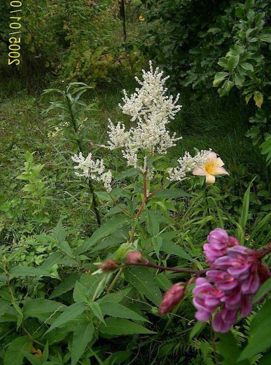 Photo giant fleeceflower white fleece flower white dragon photo giant fleeceflower white fleece flower white dragon white mightylinksfo