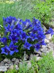 Gentian, Willow gentian