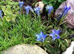Photo Chinese Gentian, light blue