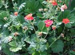 Photo Avens, Geum, red