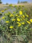 Photo Curly Cup Gumweed, white