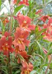 Photo Sticky Monkeyflower, red