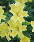 Photo Sticky Monkeyflower, yellow
