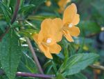 Photo Sticky Monkeyflower, orange
