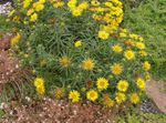 Swordleaf Inula, Slender-leaved Elecampagne, Elecampane, Narrow-leaved Inula