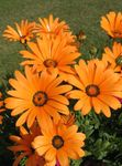 Photo Cape Marigold, African Daisy, orange