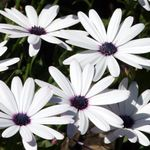 Photo Cape Marigold, African Daisy, white