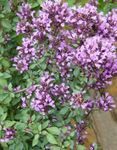 Photo Oregano, lilac