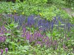 Photo Bugle, Bugleweed, lilac