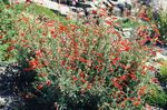 Photo Narrowleaf California Fuchsia, Hoary Fuchsia, Hummingbird Trumpet, orange