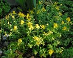 Photo Hypericum olimpicum, yellow