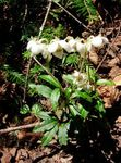 Pipsissewa, Prince's Pine, Ground Holly