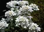 Foto Candytuft, balts