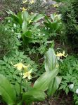 Photo Fawn Lily, yellow