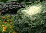 Photo Flowering Cabbage, Ornamental Kale, Collard, Curly kale, white