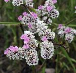 Photo Carolina Sea Lavender, pink