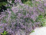 Photo Sea lavender, lilac
