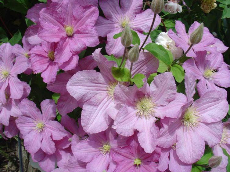 Foto klematis (clematis), have blomster