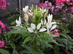 Photo Spider Flower, Spider Legs, Grandfather's Whiskers, white