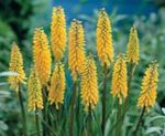 Photo Red hot poker, Torch Lily, Tritoma, yellow