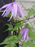 Photo Atragene, Small-flowered Clematis, lilac