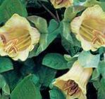 Photo Cathedral Bells, Cup and saucer plant, Cup and saucer vine, yellow