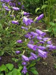 Photo Campanula, Bellflower, purple
