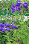 Photo Campanula, Bellflower, blue