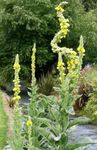 Photo Ornamental Mullein, Verbascum, yellow